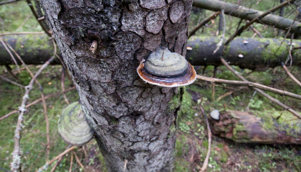 I naturen bryter brunråtesopp, som her rødrandkjuke, ned bartrær. Nå vil forskerne etterape naturen for å skjønne hvordan brunråtesoppen egentlig gjør det. (Foto: Lars Dalen, NIBIO)