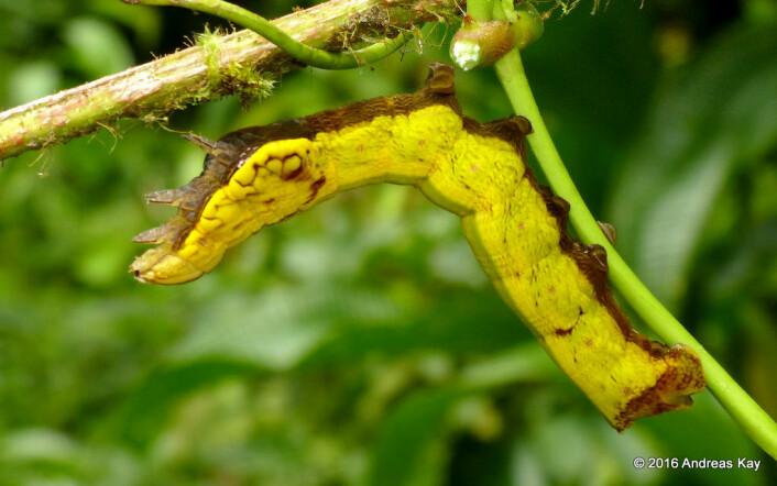 Slik ser sommerfugllarven ut før den begynner å tøffe seg. Det er undersiden av forkroppen som får falske øyne. Foto: Andreas Kay / flickr (CC BY-NC-SA 2.0).