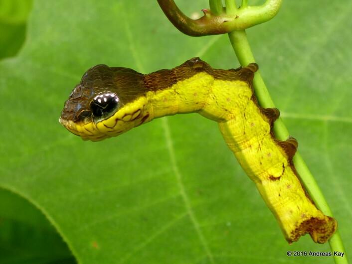 Når man ser hele dyret, er det lettere å se at dette faktisk er en sommerfugllarve, og ikke en slange. Foto: Andreas Kay / flickr (CC BY-NC-SA 2.0).