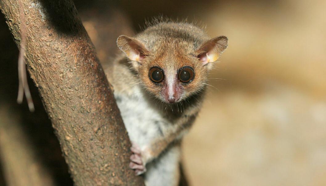 Den kjempesøte muselemuren fra Madagaskar er en kryptisk art. Det vil si at ulike arter ser helt like ut.  (Foto: Arjan Haverkamp CC BY 2.0 / Wikimedia Commons)