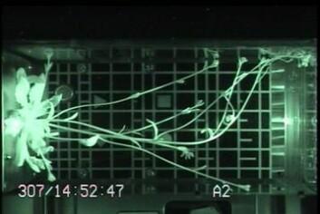 Vårskrinneblom vokser på romstasjonen i 2007 for å undersøke effekten av ulikt lys og tyngdekraft på plantevekst. Det spesialbygde vekstkammeret er utviklet i Norge. (Foto: ESA)