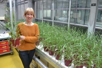 Det er Eva Brod, forsker ved NIBIO, som har utført potteforsøket med byggkorn. (Foto: Trond Knapp Haraldsen, NIBIO)