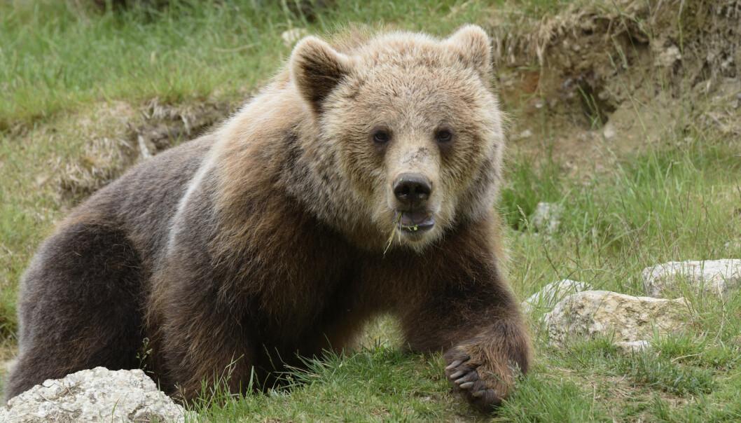Om vinteren sover bjørner i hele fem til syv måneder, uten å spise, drikke eller gjøre fra seg. Her er brunbjørnen, som er fotografert nord i Sverige. (Foto: Shutterstock / NTB scanpix)