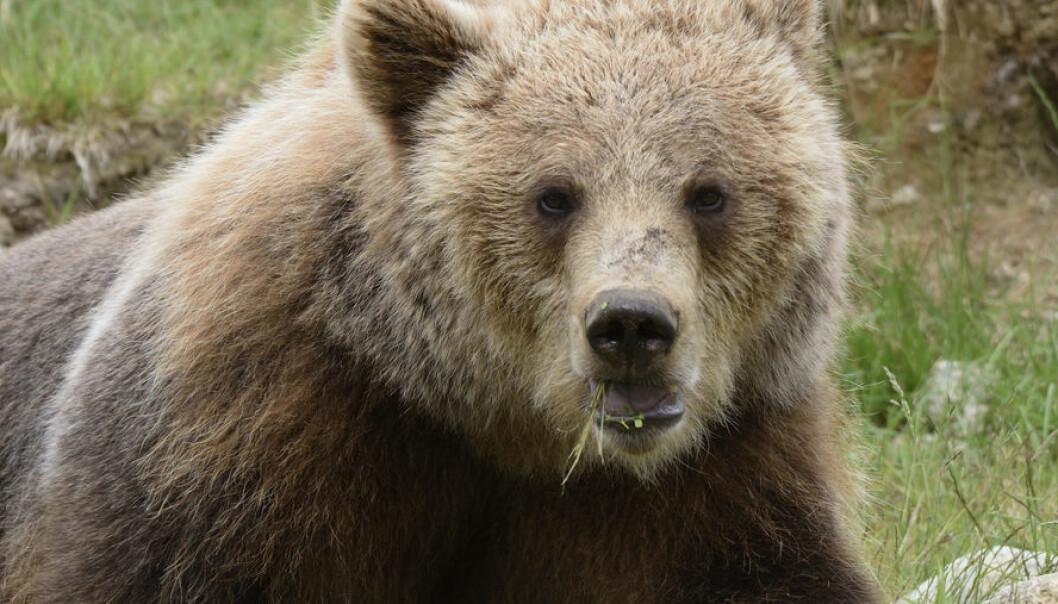 Hvorfor tåler ikke menneskekroppen dvale slik som bjørnen?