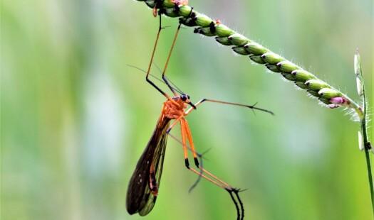 Når størrelsen teller: Styltenebbfluenes paringsgaver
