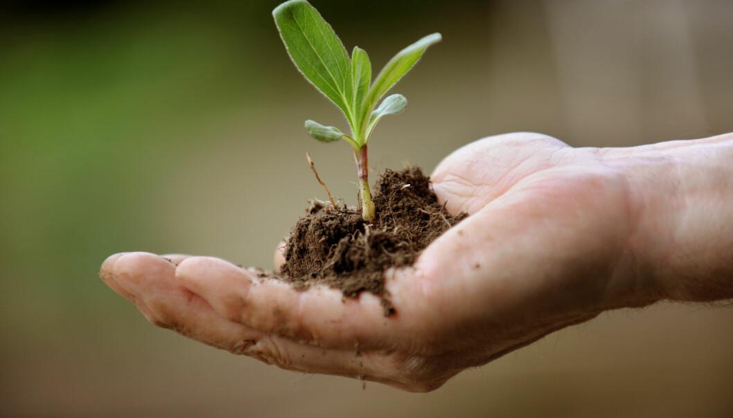 Ikke alle planter kan bli lagret for fremtiden i frøbanker. Nå har forskerne funnet en annen metode.  (Foto: Frank May / NTB scanpix)