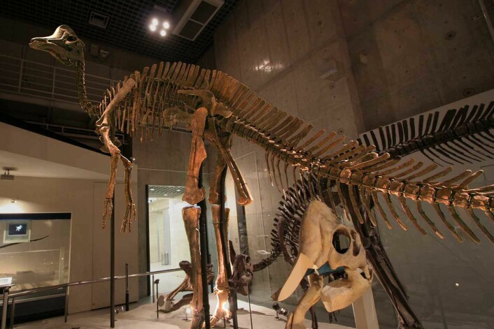 "Den digre Hypacrosauren. Dette er et fossil som finnes på det Naturhistoriske museet i Tokyo. (Foto: Kabacchi/<a href=""https://creativecommons.org/licenses/by/2.0/"">CC BY2.0</a>)"