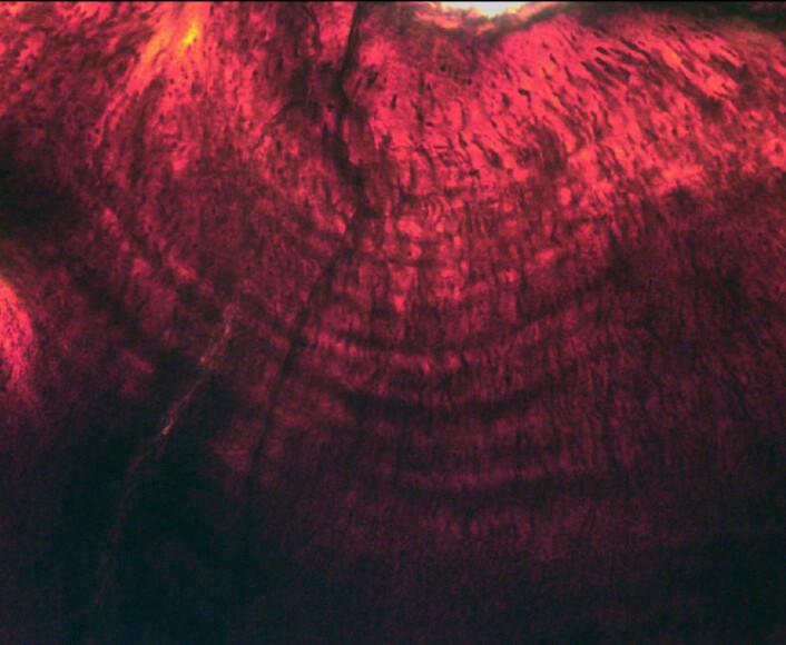 De mikroskopiske lagene i dinosaurtennene. (Foto:  © G.M. Erickson)
