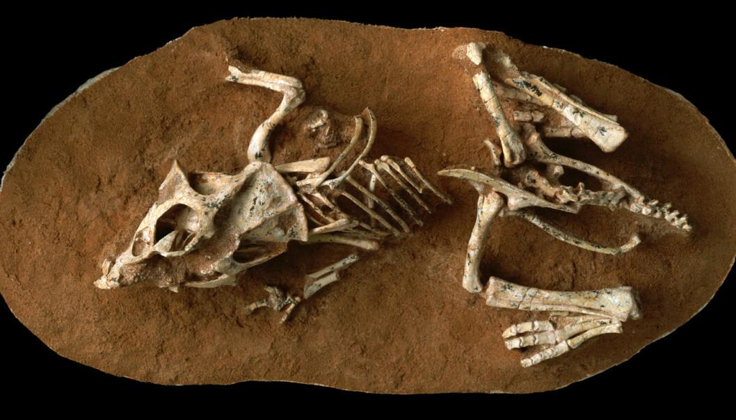 En Protoceratops som døde mens den fortsatt lå i egget. Fossilet ble funnet i Gobi-ørkenen. (Foto: © AMNH/M. Ellison)
