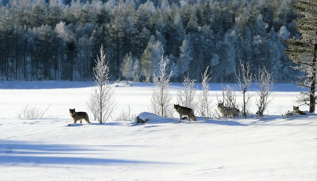 Ulver i Slettåsflokken ved Osensjøen i Åmot kommune 25. januar 2015. (Foto: Robert Huldt)