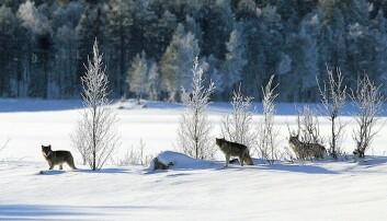 De aller fleste ulver unngår områder der vi bor