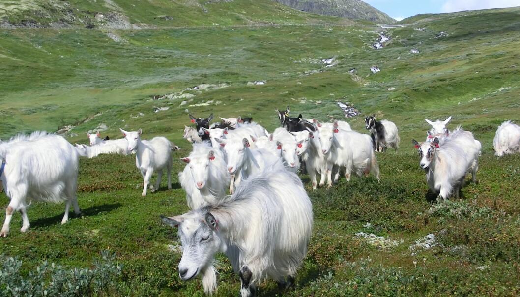 Litt under halvparten av landet vårt er utmark som kan bli brukt til beite. Områdene er såpass gode at dyrene kan spise seg store og fete, som geita her ved Lykkjestølane Øystre Slidre.  (Foto: Yngve Rekdal, Nibio)