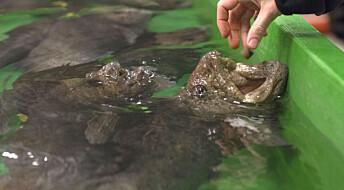 Steinbiten kan bli den nye oppdrettsfisken