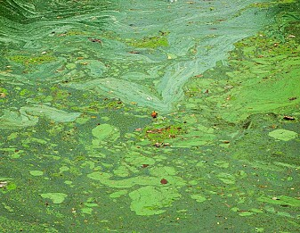 Fjerner miljøgifter med alger