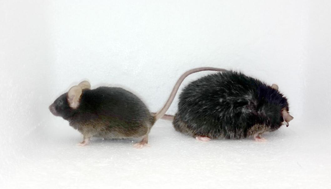 Det var trolig forandringer i dopaminsystemet – ikke vekta – som gjorde at tykke mus beveget seg mindre enn normalt. Lite bevegelse så heller ikke ut til å gi musene mer fedme.  (Foto: Alexxai Kravitz)