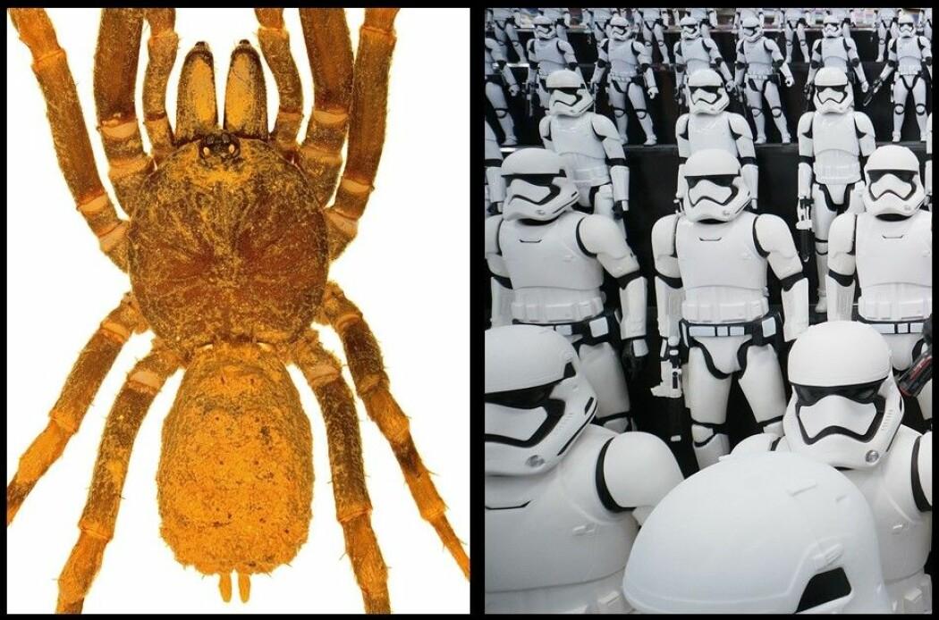Til venstre et eksemplar av den nye edderkoppslekten <i>Stormtropis</i>. (Foto: Carlos Perafan) Til høyre stormtropper fra en <i>Star Wars</i>-utstilling i Tokyo. (Foto: Syaheir Azizan, Colourbox)