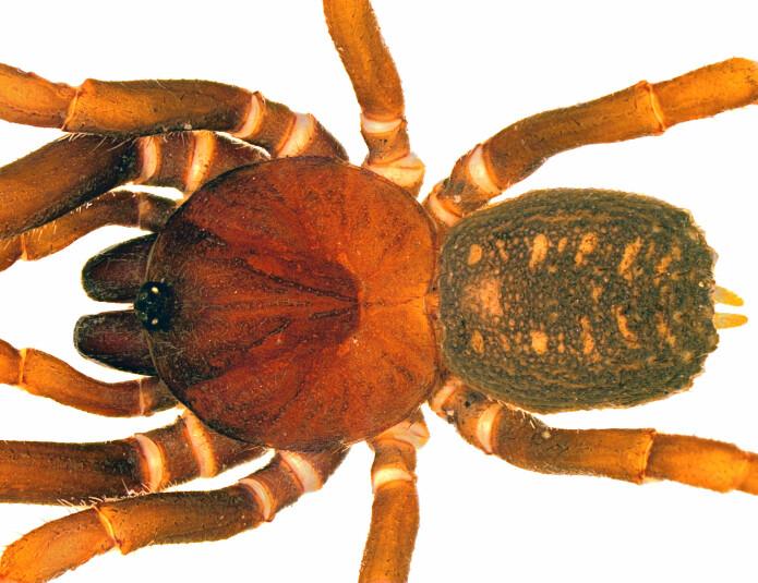 Den nyoppdagete edderkoppen <i>Stormtropis muisca</i> er funnet så høyt som 3400 meter over havet. (Foto: Carlos Perafan)