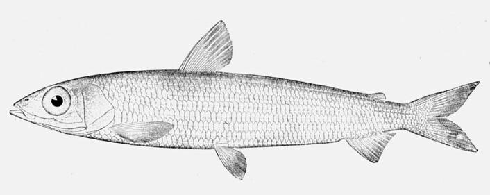 De store øynene avslører at vassilda er en dyphavsfisk. Om noen en sjelden gang får den inntil halvmeter lange fisken på kroken, så spiser de den neppe. (Foto: (Illustrasjon fra Wikimedia Commons))