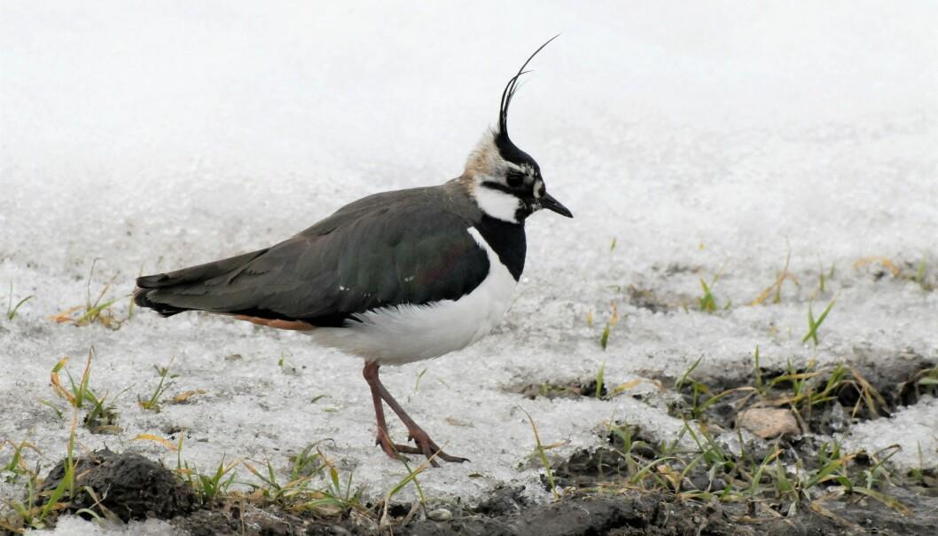 Vipa er en av de mest kjente fugleartene i det norske jordbrukslandskapet. (Foto: Morten Günther)