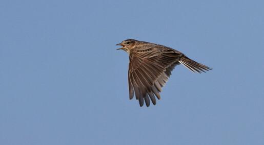 Fuglene i åkeren kan overleve ved hjelp av bøndene