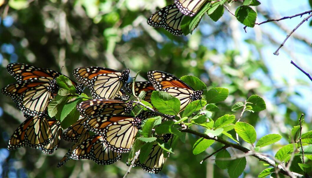 """Monarksommerfuglen er en av de mest kjente insektene som reiser over lange avstander. Den migrerer fra nord i USA til Mexico hvert eneste år. Men massevis av insekter migrerer hver eneste vår og høst i Europa også, ifølge en ny studie. (Foto: Loadmaster (David R. Tribble)/<p><a class=""""mw-mmv-license"""" href=""""http://creativecommons.org/licenses/by-sa/3.0"""" target=""""_blank"""">CC BY-SA 3.0</a></p>)"""