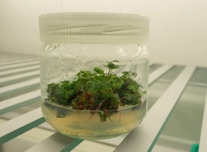 Kryopreserverte jordbærplanter som skal bli planter på jord igjen. (Foto: Sagaplant/ De norske forskningsfondene)