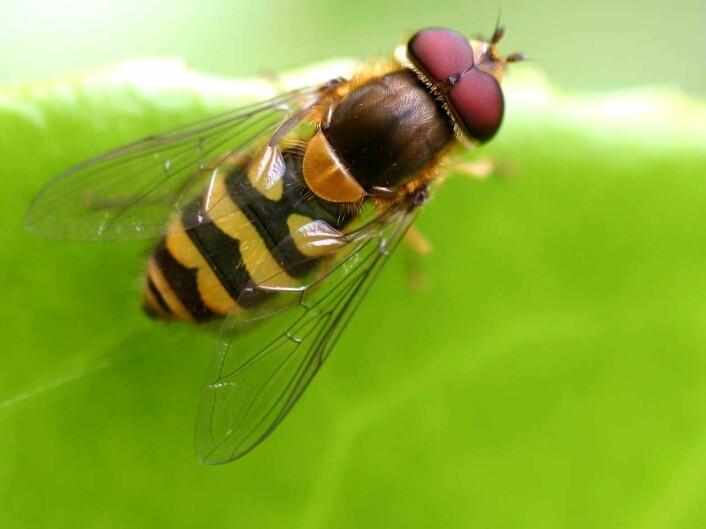 Blomsterfluen ble også funnet av forskerne, flere hundre meter over hodene våre. (Foto: ©entomart)