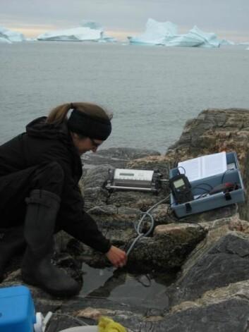 Hovedforfatteren på den nye studien, Dorte Krause-Jensen, tester utstyr i felten ved Diskobukten, Vest-Grønland. (Foto:  Carlos M. Duarte)