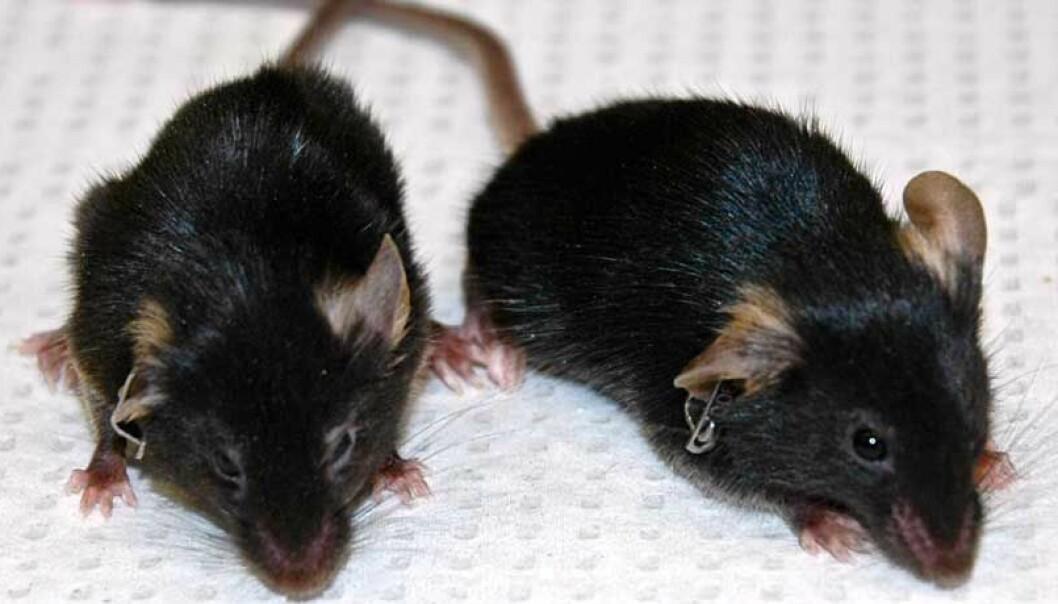 Musa til venstre skranter som følge av en sykdom som gir unormalt rask aldring. Musa til høyre har samme sykdom, men har fått behandling.   (Foto: Salk Institute)