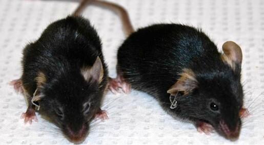 Gjorde gamle mus unge igjen
