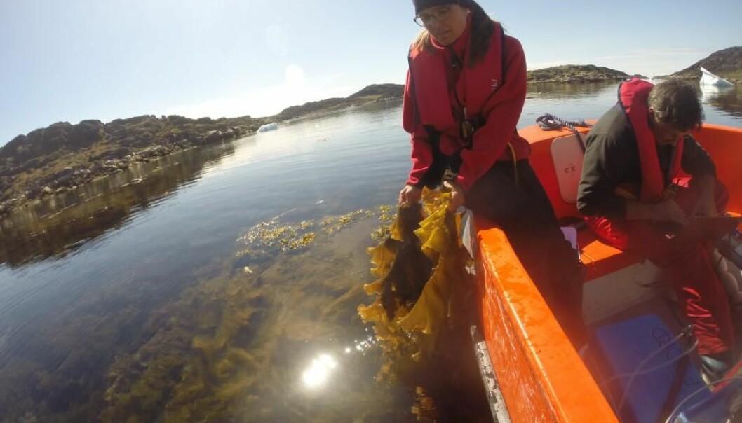 Forskerne overvåket havvannets C02-nivåer og pH-verdi i tareskogene i løpet av sommeren ved Nuuk i det sørvestlige Grønland og Diskobukten lenger mot nord på Vest-Grønland. (Foto: Frida Lindwall)