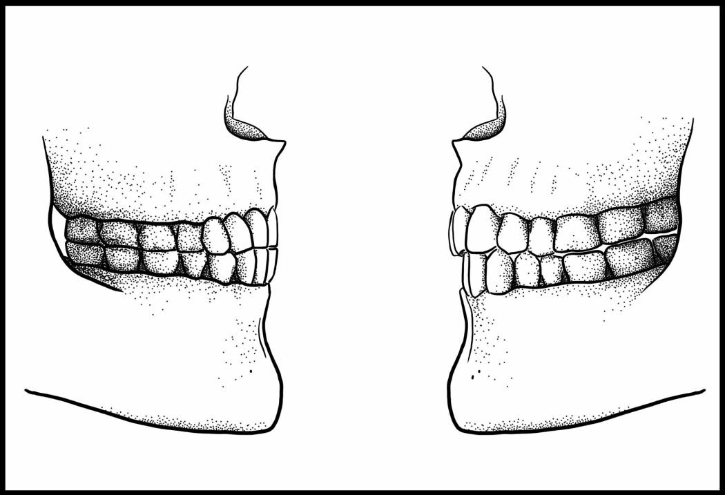 Til venstre en kjøttetende kjeve som vil ha problemer med å si f og v. Til høyre en kjeve tilpasset mykere kosthold og som kan si <i>vaffel</i>. (Illustrasjon: Tímea Bodogán)