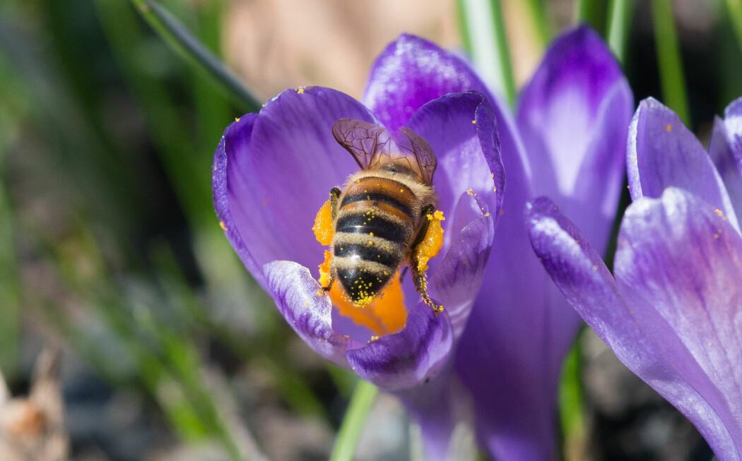 Honningbie samler pollen fra krokus. (Foto: Hallvard Elven, Naturhistorisk museum)