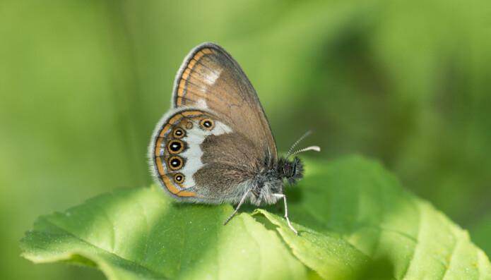 Heroringvinge er en av våre truede sommerfuglarter. (Foto: Hallvard Elven / Naturhistorisk museum)