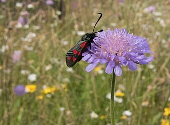 Seksflekket bloddråpesvermer er en av våre mange pollinerende sommerfuglarter. (Foto: Hallvard Elven / Naturhistorisk museum)