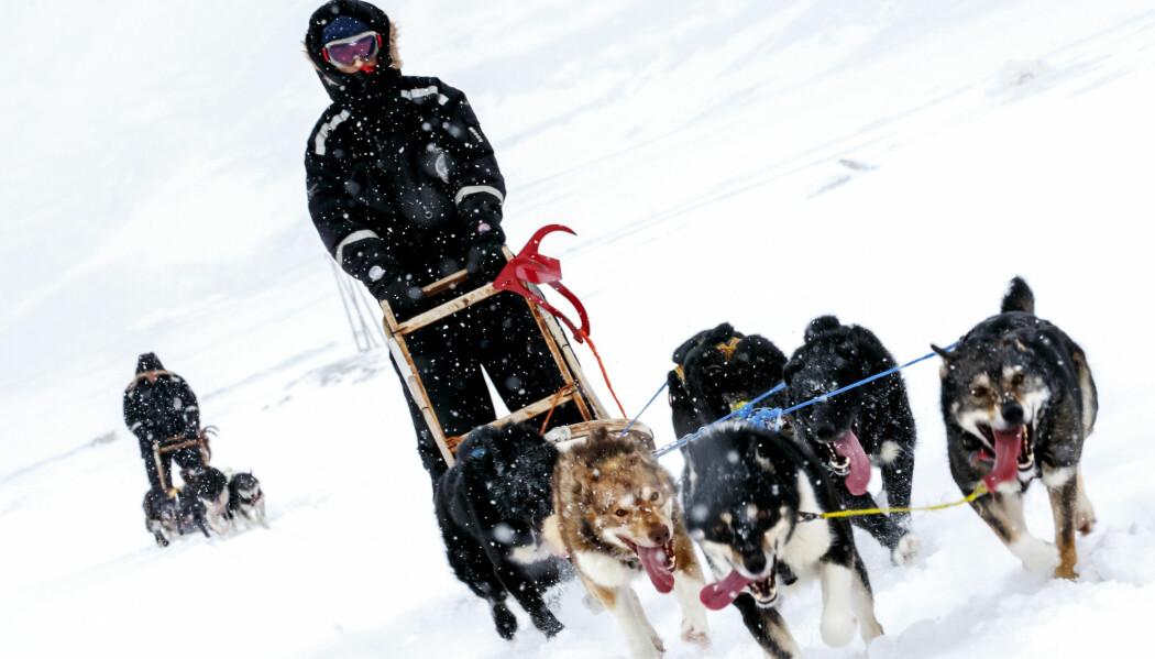Det er selve utfordringa med hundekjøring som motiverer utøverne aller mest. (Foto: Heiko Junge, NTB scanpix)