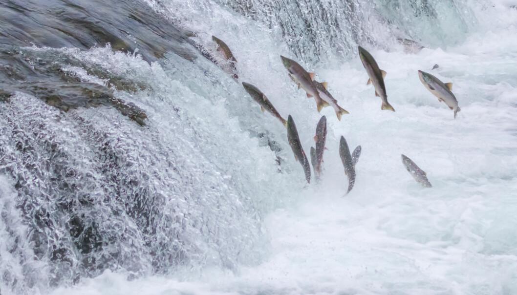 Atlanterhavslaksen svømmer ut mot havet når det er tid for å bli kjønnsmoden. På bildet ser man laks svømme motstrøms i Brooks Falls, Alaska.  (Foto: Sekar B/Shutterstock/NTB scanpix)
