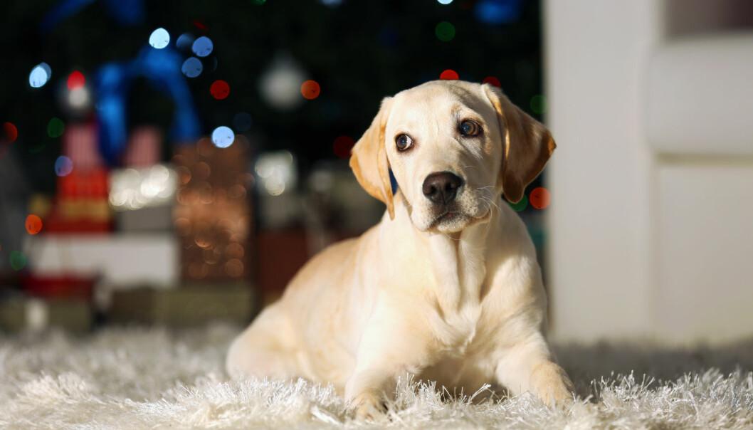 Et av rådene er å lufte hunden så tidlig som mulig på dagen, gjerne en lang tur som sliter den litt ut. (Foto: Shutterstock / NTB scanpix)