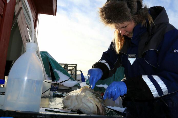 Som del av doktorgradsarbeidet mitt gjorde eg mange ulike målingar for å vurdere torsken sitt stressnivå. Foto: Lidunn M. Boge © Nofima