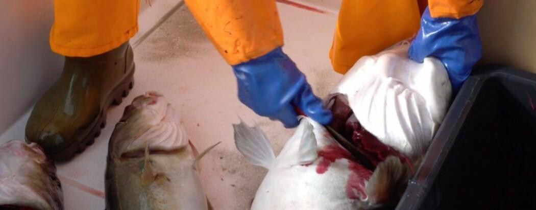 Forskere vet nå mer om hvordan restblod i fiskekjøttet blir påvirket av fangst og håndteringen i båten. (Foto: Geir Sogn-Grundvåg, Nofima)