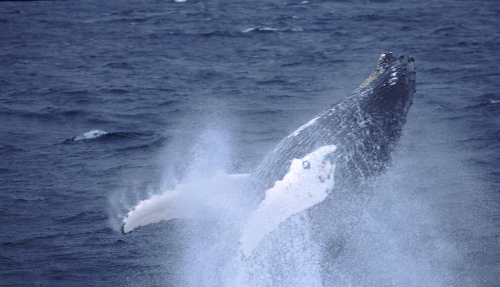 – Når de hopper og den 20 tonn tunge kroppen kommer opp av vannet og lander, er det veldig fascinerende, sier Nils Øien om knølhvalen. (Foto: Kjell-Arne Fagerheim / Havforskningsinstituttet)