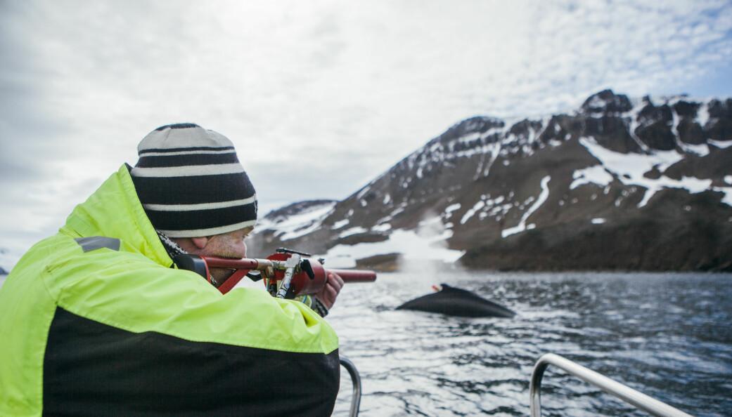 Under Antarktis-toktet tidligere i år talte forskerne mer enn 1200 hvaler. Her skyter toktleder Bjørn Krafft et satellittmerke i en knølhval. (Foto: Oda Linnea Brekke Iden / Havforskningsinstituttet)