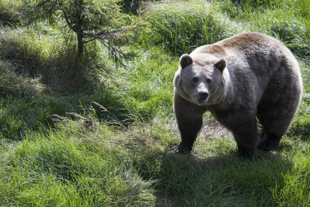 – Forskjellen mellom de forsiktige og de matglade bjørnene kan ha sammenheng med ulike personlighetstyper, men forskning over flere år kreves for å kartlegge om bjørnenes personlighet påvirker deres atferd over tid, skriver Hanna Kavli Lodberg-Holm. (Foto: Berit Roald / NTB scanpix)