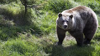 Bjørner på bærtur i et landskap av frykt