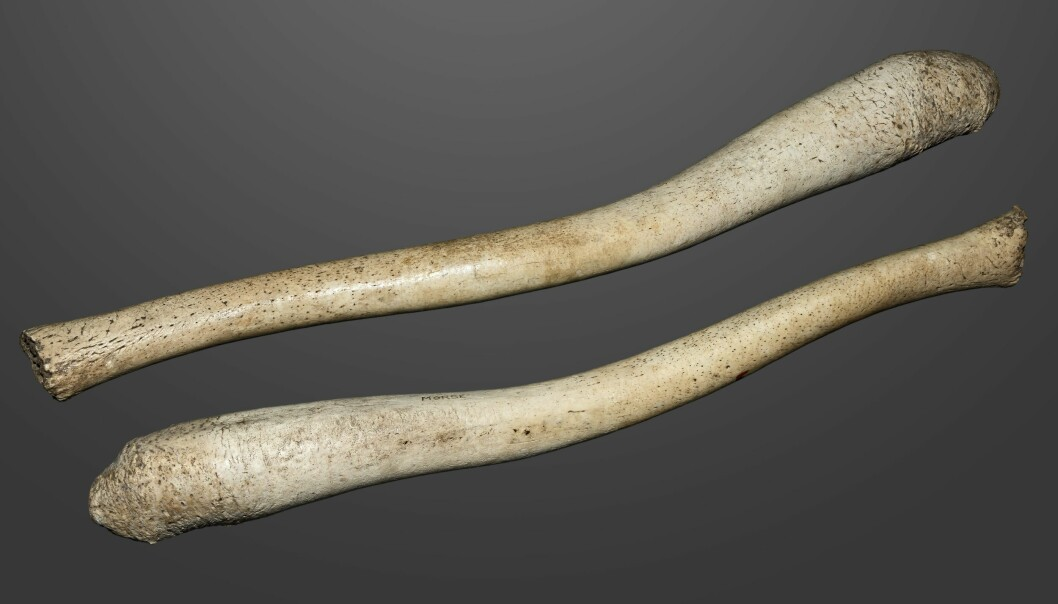 Penisbein fra hvalross. Lengde? Kremt, 59 centimeter. (Foto: Muséum de Toulouse, Creative Commons CC BY-SA 4.0)