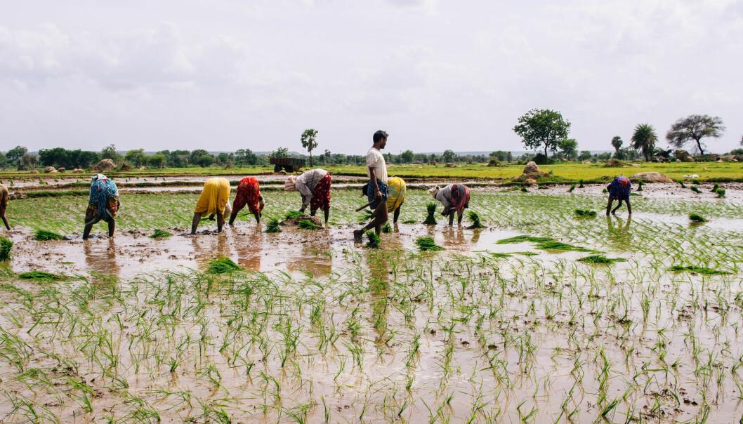 Risdyrking krever mye vann. Forbruk av vann kombinert med klimaendringer kan få store følger i mange deler av verden hvor vann er en stadig knappere ressurs. (Foto: Nibio)