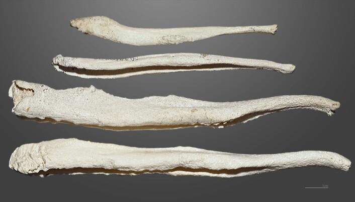 Diverse penisbein fra brunbjørn. (Foto: Muséum de Toulouse, Creative Commons CC BY-SA 4.0)