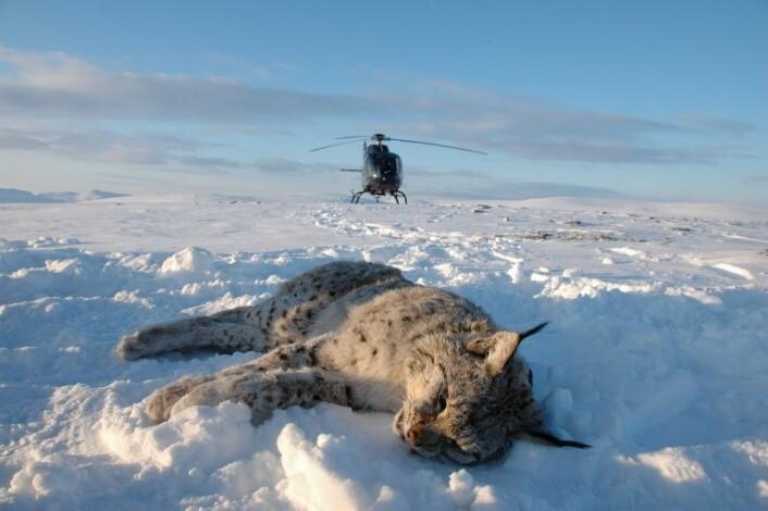 I fra 2007 til 2014 fulgte vi 31 gauper med GPS-halsbånd. Gaupene ble bedøvet fra helikopter. GPS-halbåndene faller av gaupene etter at studien er ferdig (foto: Thomas Strømseth)