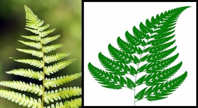 Til venstre en bregne, uvisst av hvilken art. Til høyre Michael Barnsleys fraktal. (Foto: Colourbox. Illustrasjon: Wikimedia Commons, CC BY-SA 3.0)