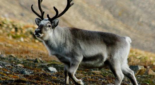 Nesen redder Rudolf fra kuldedøden